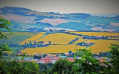 Italy, Marche, Ancona - sunflower growings -by Gianni Del Bufalo CC BY 4.0