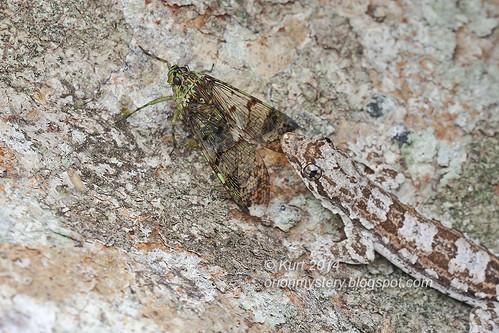 Frilly Gecko & Fulgorid - Trophobiosis IMG_0896 copy