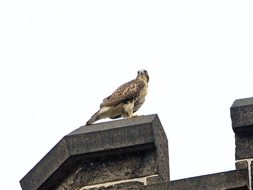 Cathedral Juvenile Hawk - 3805