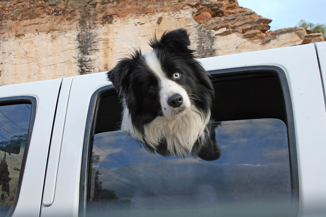 Curious Border Collie in the Comfortable Part of the Ute