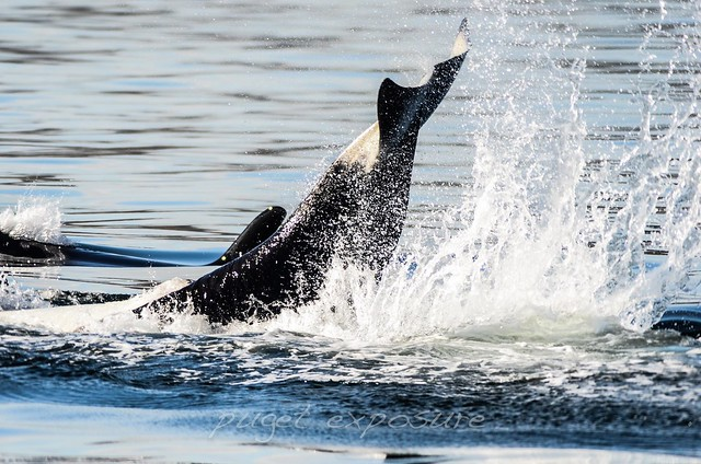 playful orcas
