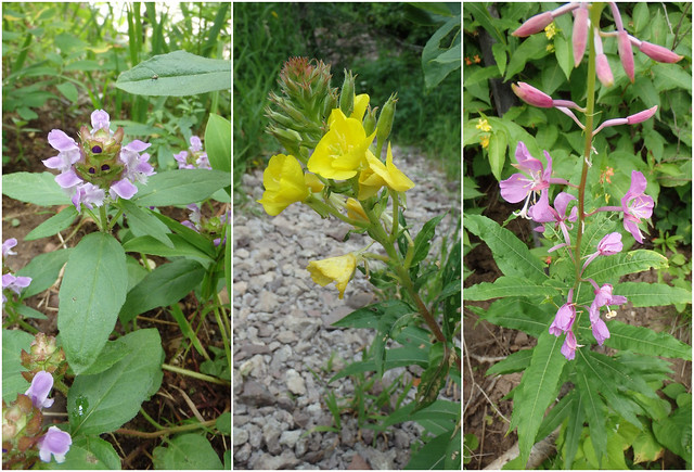 self-heal, evening primrose, fireweed