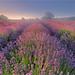Just Lavender by Sandra OTR