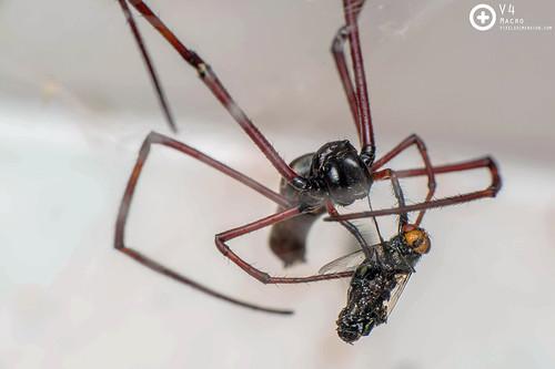 Blackwood Golden Orb Spider wrapping up food- Nephila cf. kuhlii