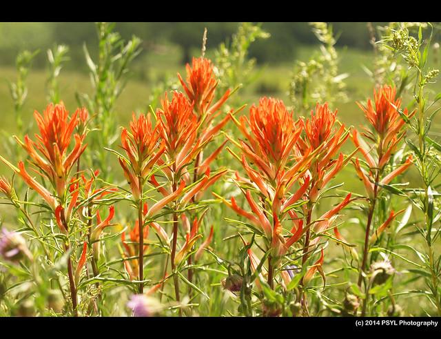 Scarlet Paintbrush (Castilleja miniata)
