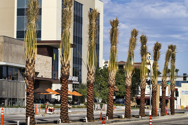 Palm trees on Firestone