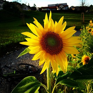 #olsbergerrunde  #sonnenstrahlengeniesser #sonnenblume