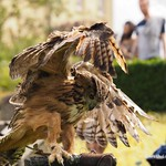 Black Mountains Falconry display 9th Aug 2014 (4)