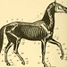"""Image from page 17 of """"A text-book of horseshoeing for horseshoers and veterinarians"""" (1904) by Internet Archive Book Images"""