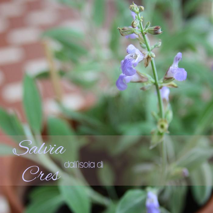SalviaCres