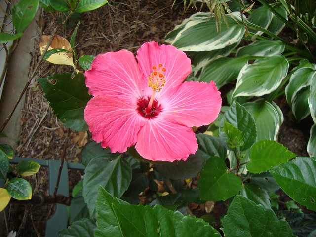 pink WF hibiscus