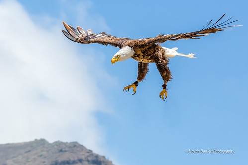 American Bald Eagle prepares for landing.
