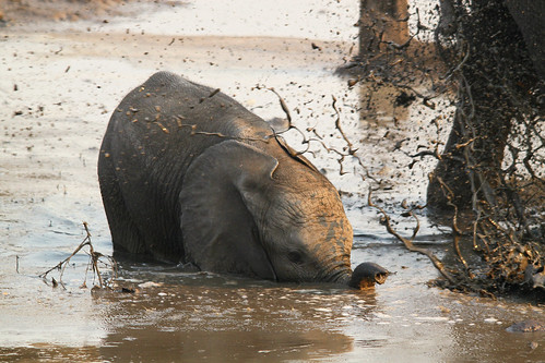 wild baby elephant nature water animals canon zoom young drinking sigma splash