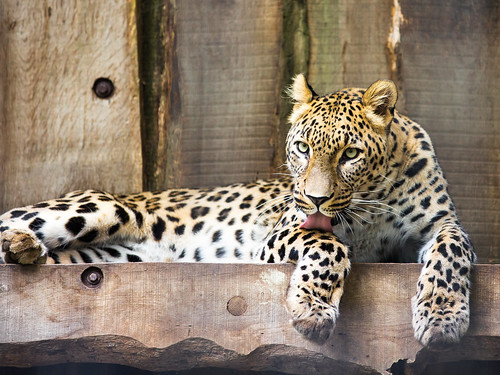 Persian leopard linking his paw