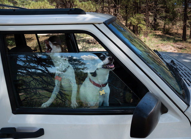 Dogs Waiting in Jeep