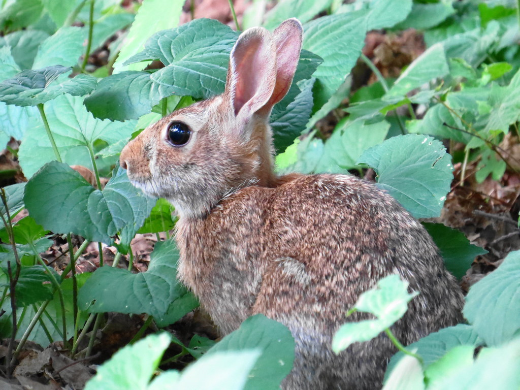 Mountain hare  Worthington State Forest   New Jersey