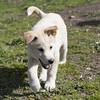 Dingo puppy 2014-08-31 (IMG_7282)