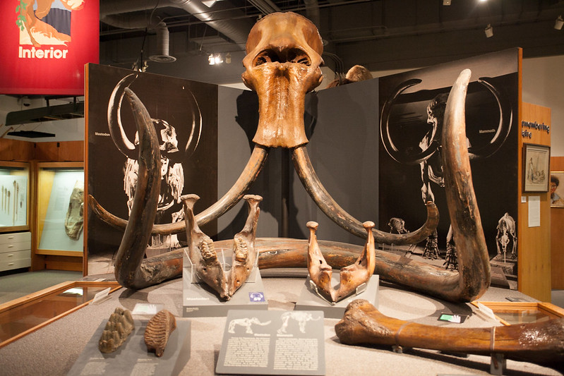 猛瑪象化石超巨大