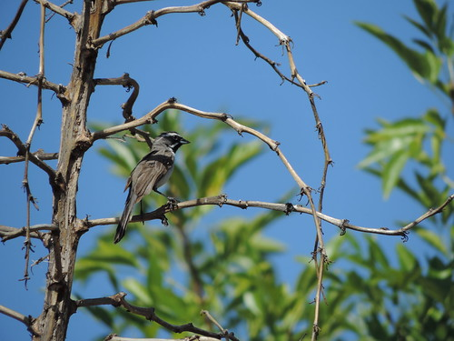 #90 Black-throated Sparrow (Amphispiza bilineata)