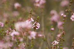 Astartea 'Winter Pink'