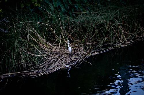 Egret near Congress Bridge