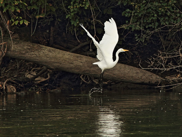 Great Egret in flight 20140918