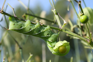 Tobacco hornworm on ground cherry plant
