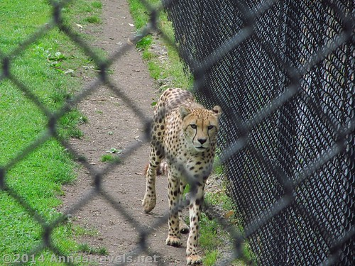 This cheetah is pacing the fence because she can smell the white tailed deer on the other side! Cape May Zoo, New Jersey
