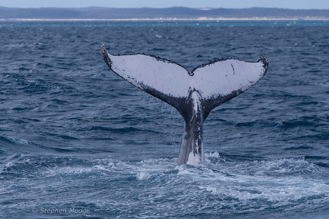 Humpback whale tail #4