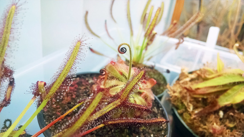 Drosera aliciae with 2 aborted flower stalks.
