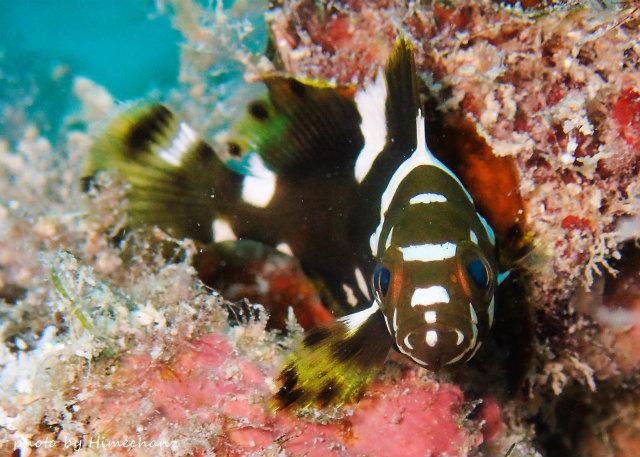 愛くるしいお目目のシロブチハタ幼魚