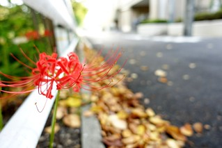 The red spider lily in commuting 2014/09 No.1.