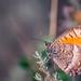 Papillon by GnondPomme