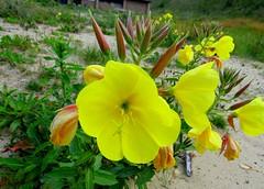 Teunisbloem (Oenothera)