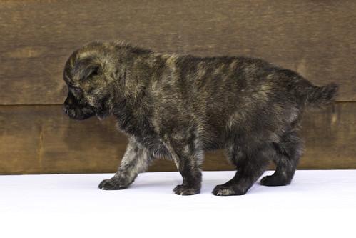 Nori-Litter2-30Days-Puppy2(male)d