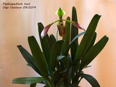 Paphiopedilum lowii 2