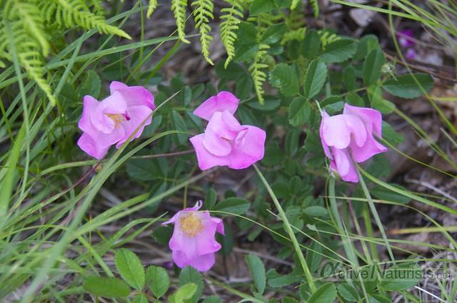 rose bloom 0001 Harriman State Park, New York, USA