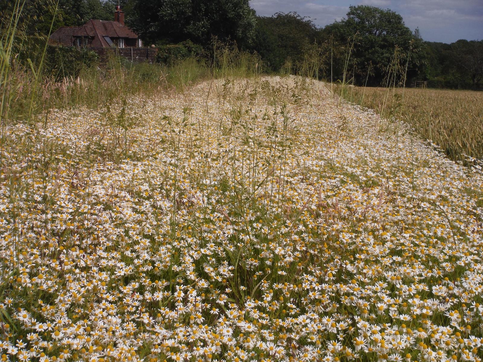 Flowers at field boundary SWC Walk 217 Midhurst Way: Arundel to Midhurst