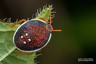 Stink bug nymph (Pentatomidae) - ESC_0118