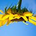 Sunflower bees by artseejodee