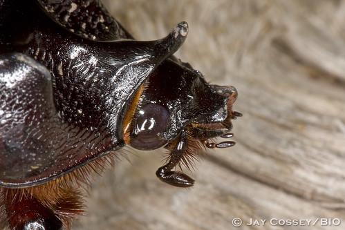 cavernsofsonora coleopterabeetles insecta photographerjaycossey scarab texas