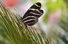 Zebra Longwing, Explored 3.21.17, thanks!