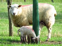 bébés agneau & leur moman - Photo of Rocourt
