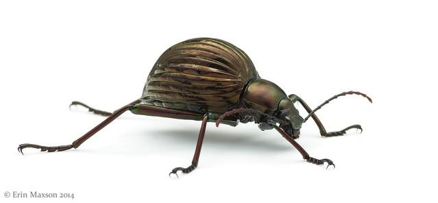 Belize darkling beetle 3