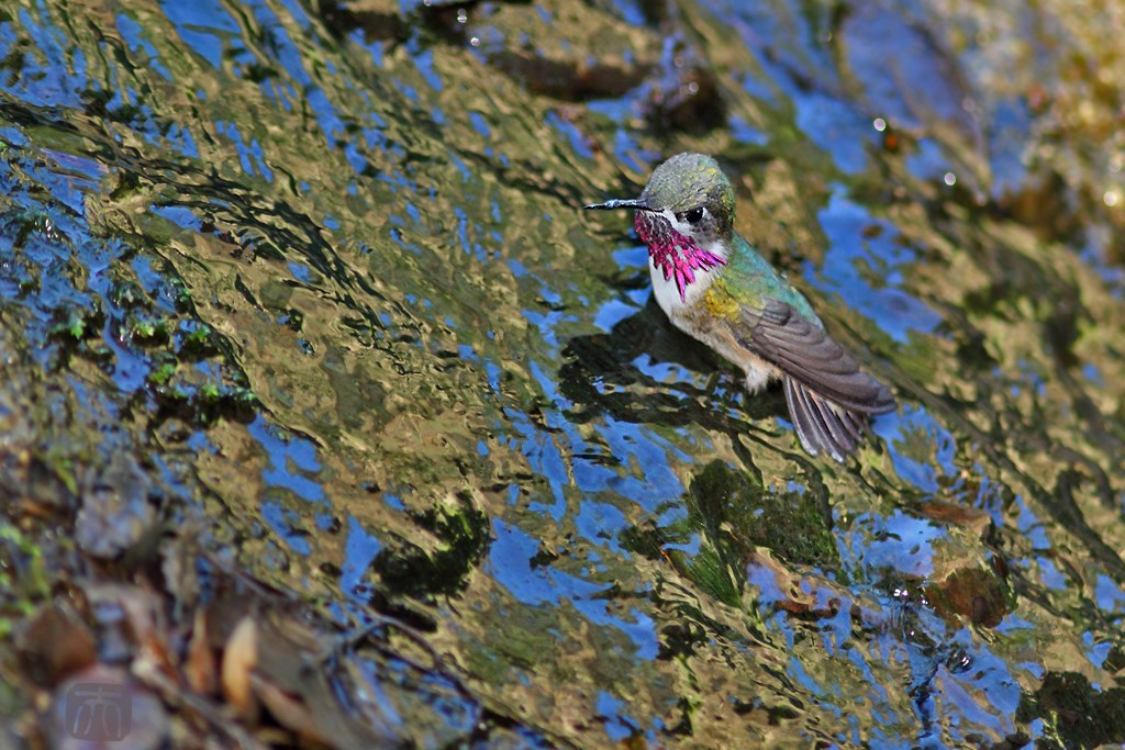 Calliope Hummingbird 150614
