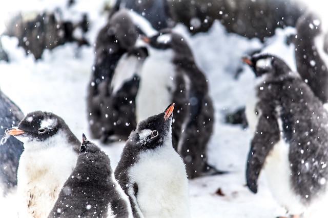 Nevada veraniega para los pingüinos de la Antártida.