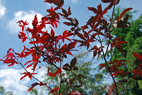 Bloodgood Japanese maple sapling crown