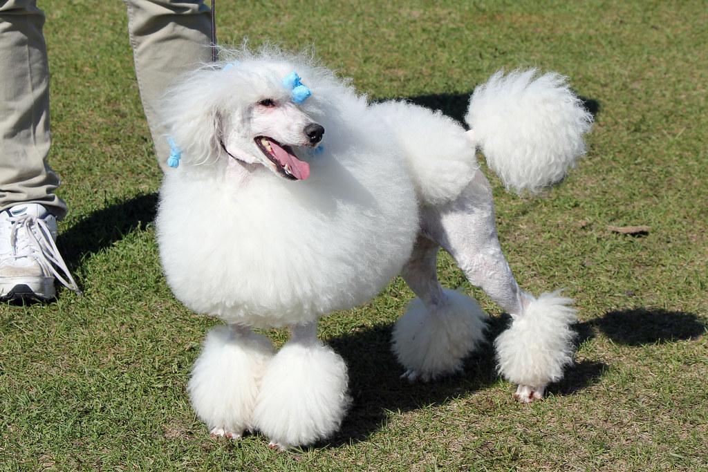 Poodle Mini0792