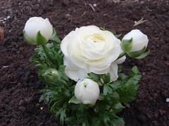 Fehér boglárka