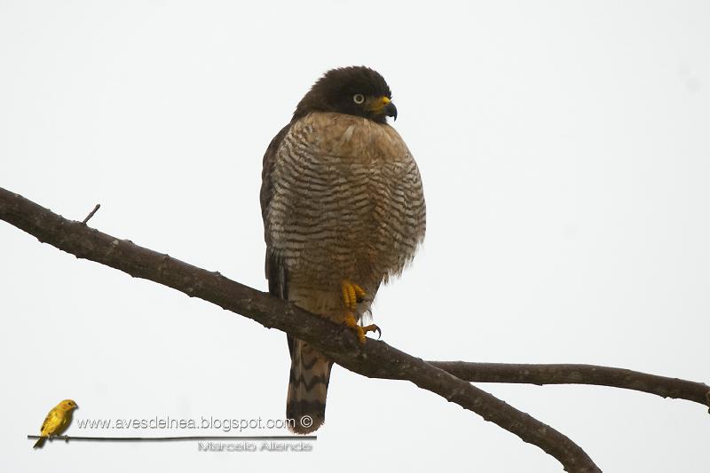 Taguató común, Roadside Hawk, Buteo magnirostris